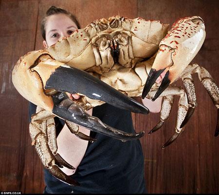 tasmanian_giant_crab.jpg