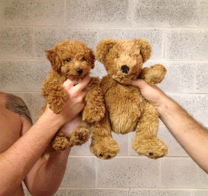 Teddy Bear Dog