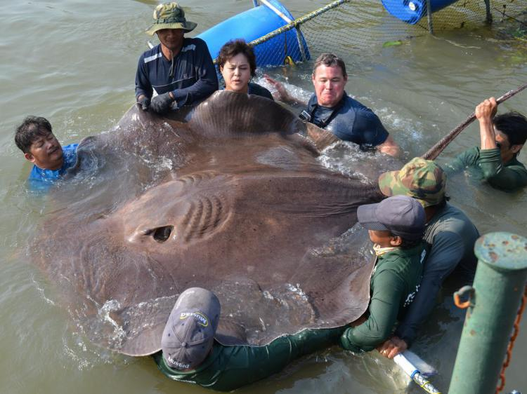 World's Largest Stingray