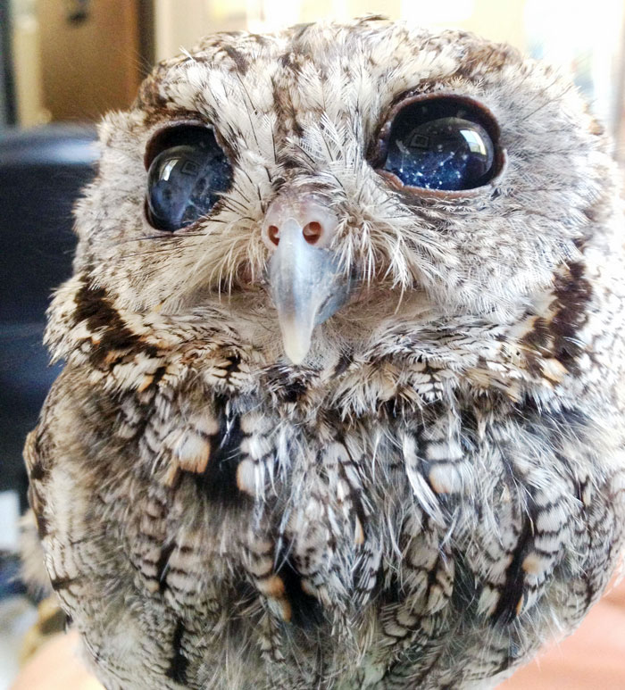 Zeus Owl Stars in Eyes